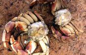 Reinigung von Krabben und Garnelen zu Hause.