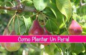 Como Peral Plantar Un