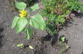 Wirkt Wunder wachsen wirklich das Wachstum der Sonnenblume Pflanze während der Keimung und den frühen Stadien des Wachstums der Pflanze nach?