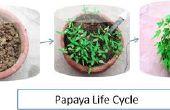 Papaya aus Samen wachsen