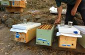Wie man ein Honigbienenvolk Kern (und verhindern, dass etablierte Nesselsucht schwärmen)