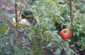 Wachsen Tomaten aus Samen