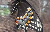 Schwalbenschwanz Schmetterling Inkubation Lebensraum