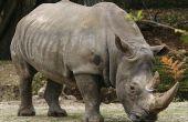Wie ein Rhinozeros, laufen