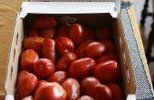 Eiskalte Sommer Tomaten Ernte