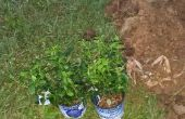 Blaue Beeren Busch Pflanzen