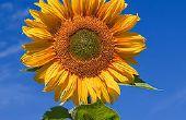 Gewusst wie: speichern Sie Ihre Sonnenblumen von Critters für weniger als $2