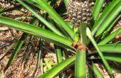 Wie Sie wachsen Ananas