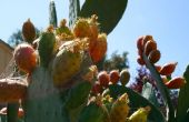 Wie Feigenkaktus, alias Kaktus Frucht, aka Thunfische zu essen