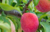 Top 5 Gründe für dünnes eine Frucht Baum & wie es geht