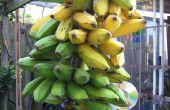 Green Banana Pommes frites