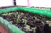 Am schnellsten wachsende Baum - Kaiserin (Paulownia Shantong) aus Samen!