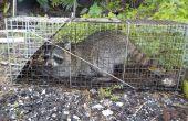 Ärgernis Waschbär Trapping