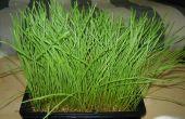 Wachsen Ihre eigenen Weizengras