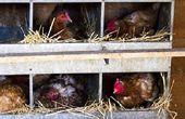 Heben Sie Ihre Hühner durch Gebäude Coops mit verschiedenen Chicken Coop Pläne