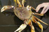Wie Kochen und putzen eine frische Dungeness Krabbe