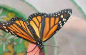 Monarchfalter - Ei zum Schmetterling