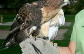 Wilde Raptoren - Vogel Umgang mit