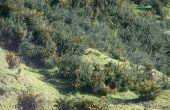 Stechginster (Ulex Europäer) mit New Zealand Buschlandschaft entfernen