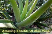 Erstaunliche Vorteile von Aloe Vera