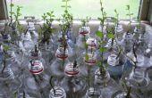 Pop-Flasche Pflanze Propagator (wachsende Minze)