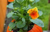 Flower Pot Kürbisse
